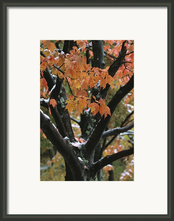 Fall Foliage Of Maple Tree After An Framed Print By Tim Laman