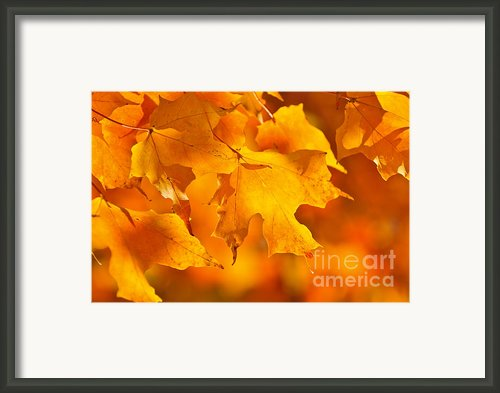 Fall Maple Leaves Framed Print By Elena Elisseeva
