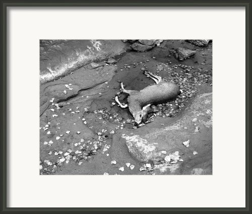 Fallen Deer Framed Print By Christian Slanec