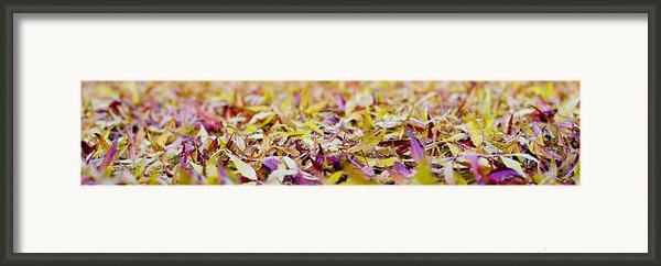 Fallen Willow Tree Leaves Framed Print By Steven Poulton