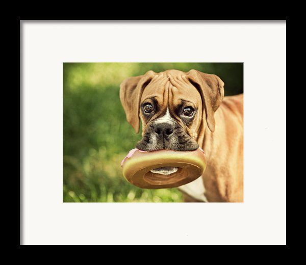 Fawn Boxer Puppy Framed Print By Jody Trappe Photography