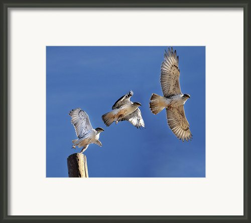 Ferruginous Hawk In Flight Framed Print By Utah-based Photographer Ryan Houston