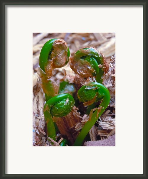 Fiddlehead Quartet Framed Print By Jim Albert