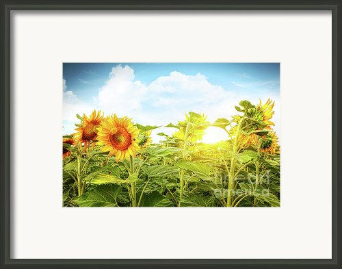 Field Of Colorful Sunflowers And Blue Sky  Framed Print By Sandra Cunningham
