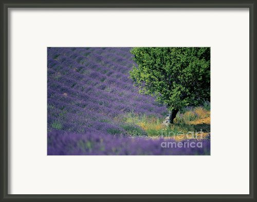 Field Of Lavender Framed Print By Bernard Jaubert