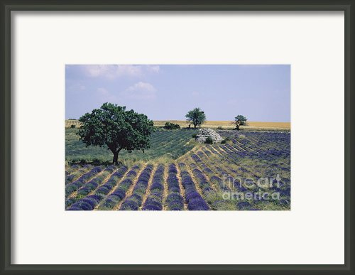Field Of Lavender. Sault. Vaucluse Framed Print By Bernard Jaubert