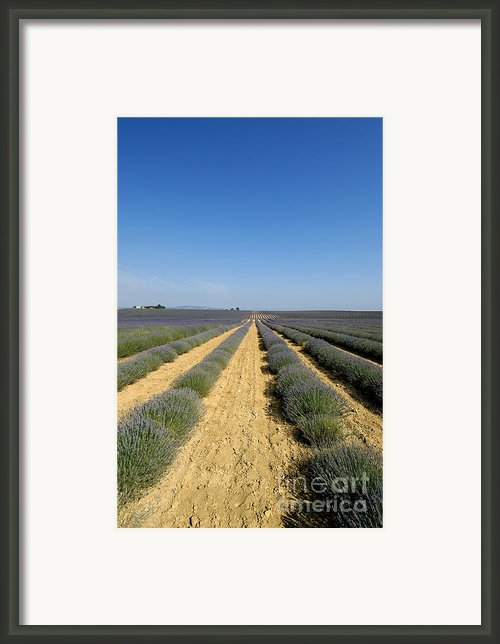 Field Of Lavender. Valensole Framed Print By Bernard Jaubert