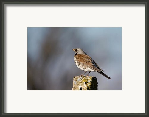 Fieldfare Watching  Framed Print By Cliff  Norton
