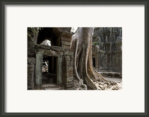 Fig Tree Growing Over Crumbling Ruins Framed Print By Rebecca Hale