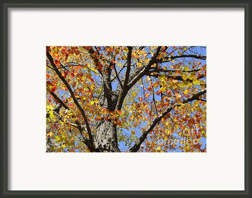 Fire Maple Framed Print By Luke Moore
