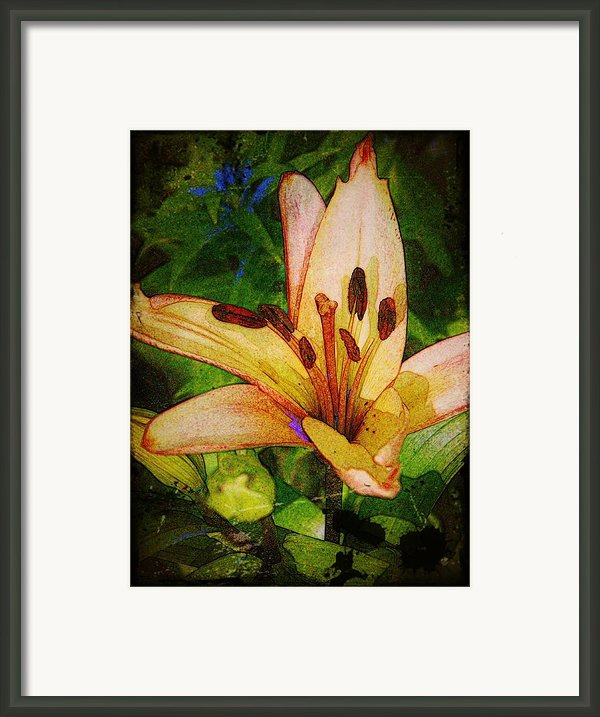 First Asiatic  Framed Print By Chris Berry