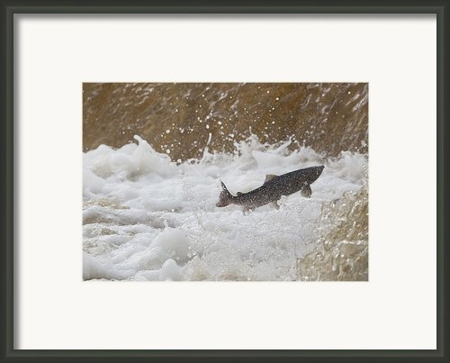 Fish Jumping Upstream In The Water Framed Print By John Short