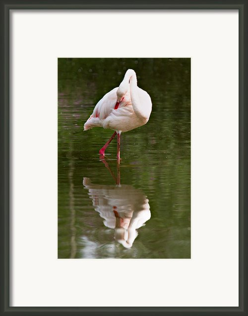 Flamingo Framed Print By Gert Lavsen