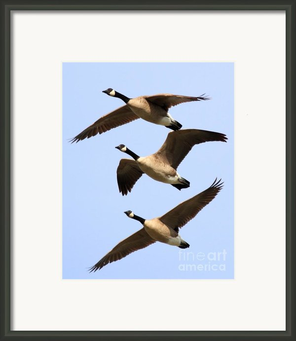 Flight Of Three Geese Framed Print By Wingsdomain Art And Photography