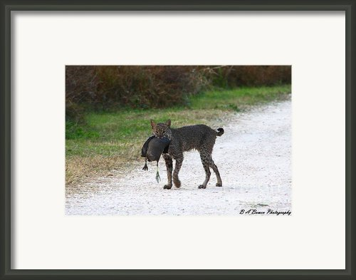 Florida Bobcat Catches An Evening Snack Framed Print By Barbara Bowen