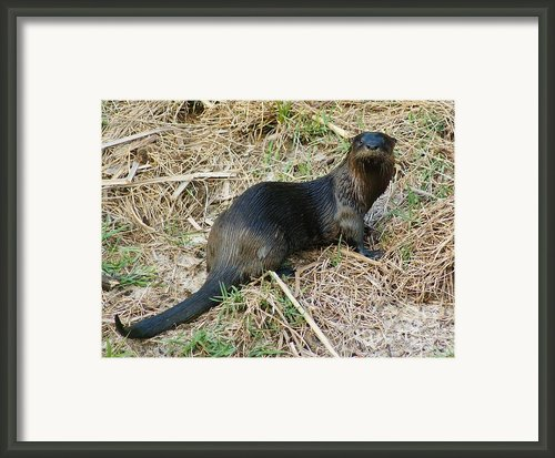 Florida River Otter Framed Print By Lynda Dawson-youngclaus