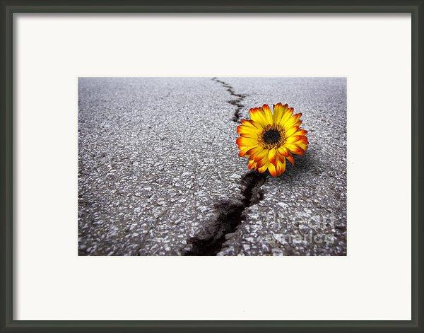 Flower In Asphalt Framed Print By Carlos Caetano