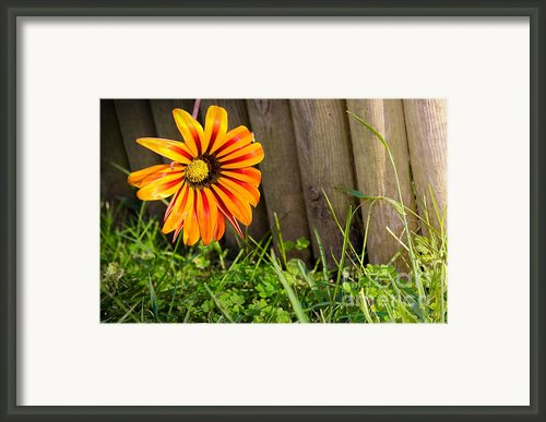 Flower On Fence Framed Print By Carlos Caetano