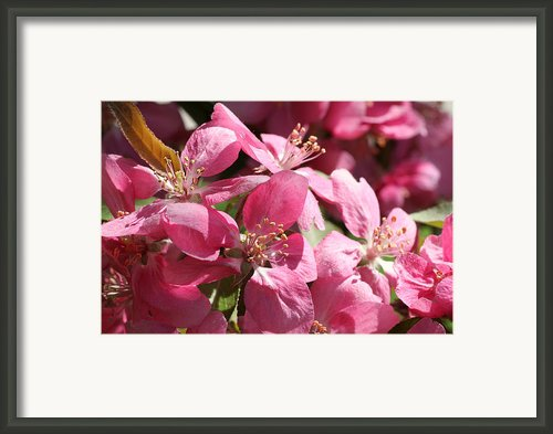 Flowering Crabapple In Bloom Framed Print By Mark J Seefeldt
