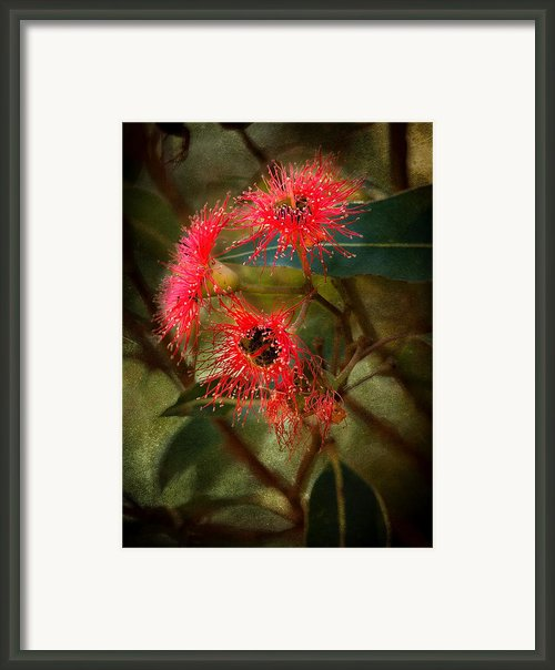 Flowering Gum Framed Print By Heather Thorning