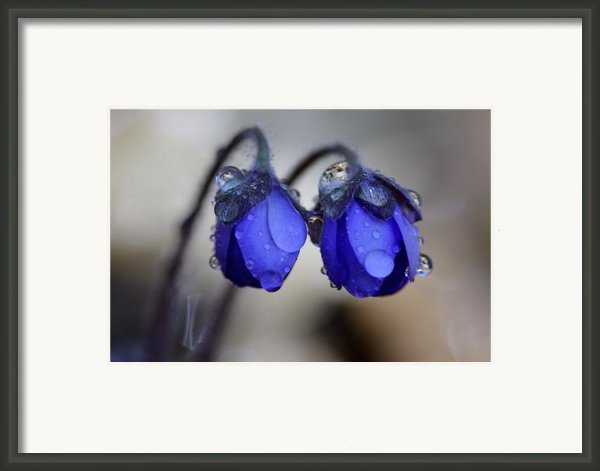 Flowers Fresh Rain Droplet Framed Print By Romeo Koitmae
