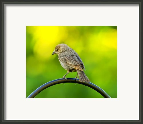 Flowing Female Cowbird Framed Print By Bill Tiepelman