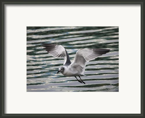 Flying Seagull Framed Print By Carol Groenen
