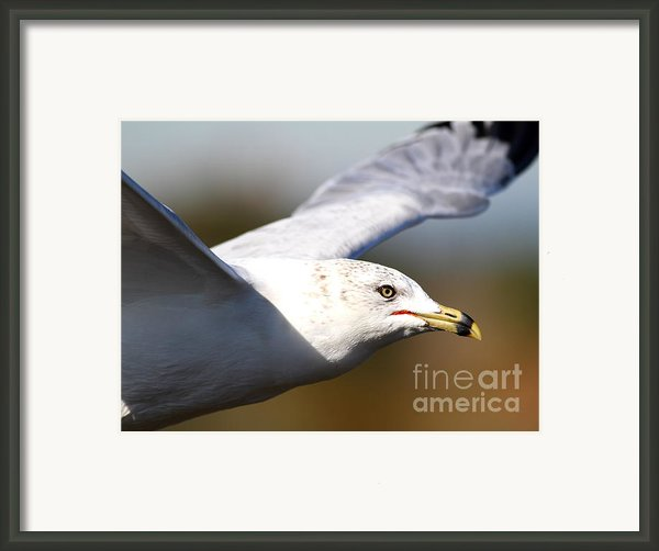 Flying Seagull Closeup Framed Print By Wingsdomain Art And Photography