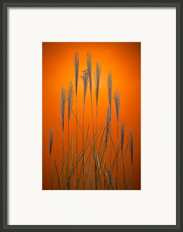 Fountain Grass In Orange Framed Print By Steve Gadomski