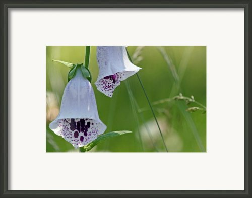 Fox Glove Framed Print By Tresa Gilbertie