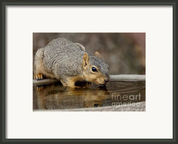 Fox Squirrel Framed Print By Lori Tordsen