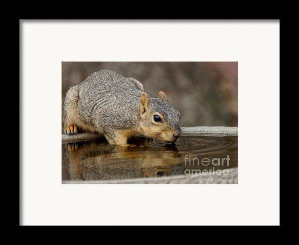 Fox Squirrel Framed Print By Lori Tordsen