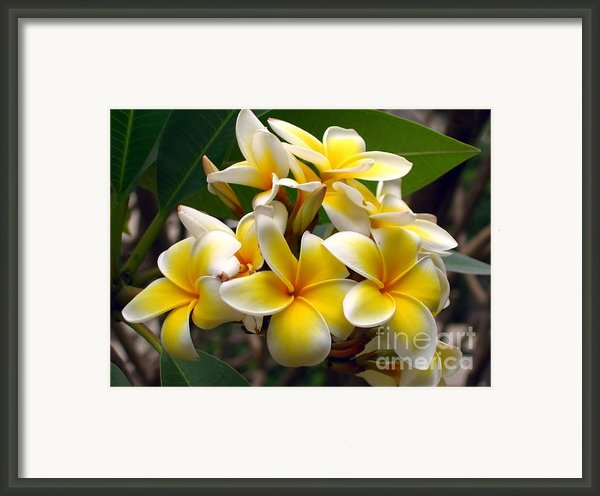 Fragrant Blossoms Of The Pagoda Tree Framed Print By Yali Shi