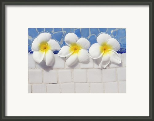 Frangipani Flowers Framed Print By Laura Leyshon
