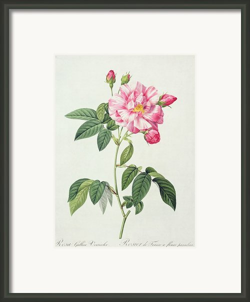 French Rose Framed Print By Pierre Joseph Redoute