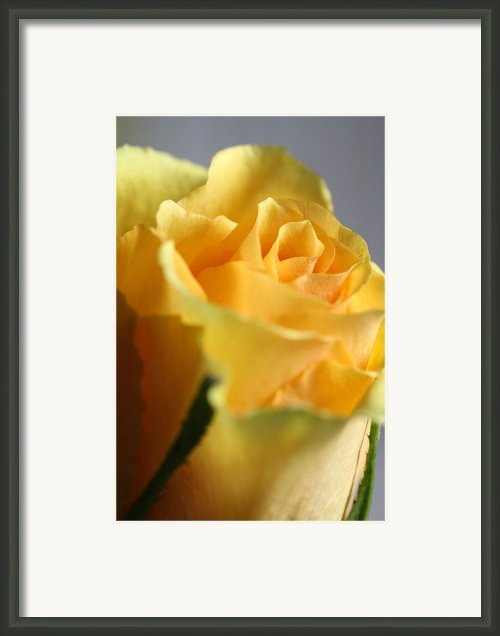 Friendship Rose Framed Print By Mark J Seefeldt