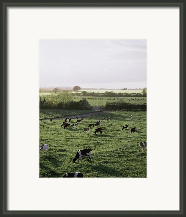 Friesian Bullocks, Ireland Herd Of Framed Print By The Irish Image Collection