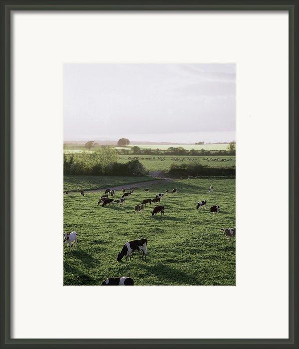 Friesian Bullocks, Ireland Herd Of Framed Print By The Irish Image Collection