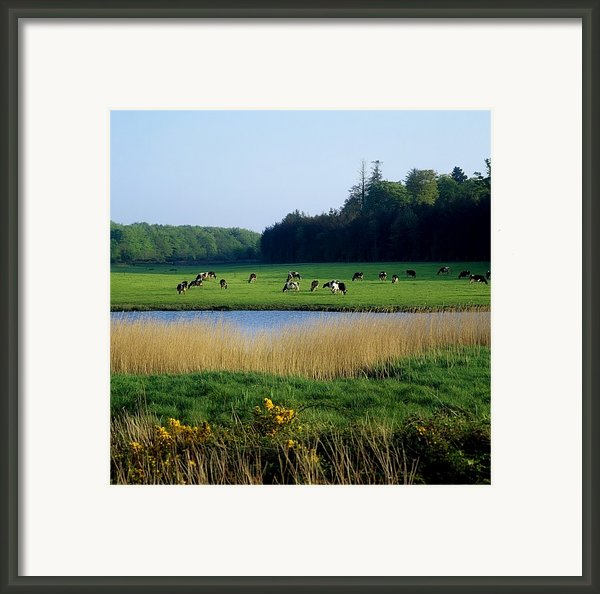 Friesian Cattle, Near Cobh, Co Cork Framed Print By The Irish Image Collection