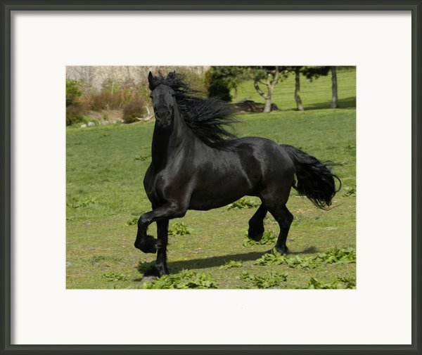 Friesian Horse In Galop Framed Print By Michael Mogensen