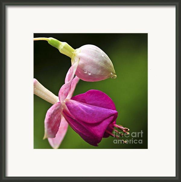 Fuchsia Flower Framed Print By Elena Elisseeva