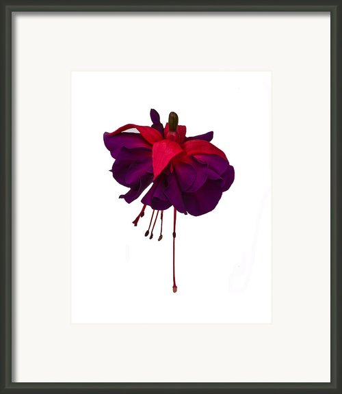 Fuchsia On White Framed Print By Dawn Oconnor