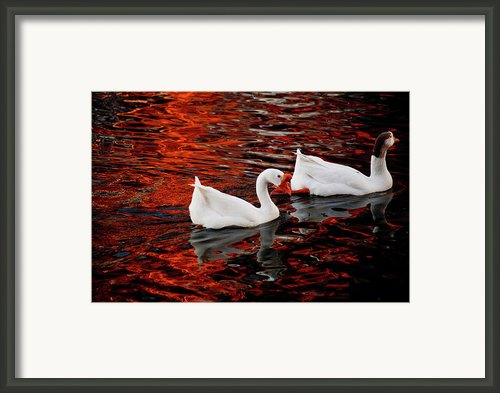 Geese At Lady Bird Lake Framed Print By Mark Weaver