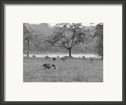 Geese On A Rainy Day Framed Print By Bill Cannon