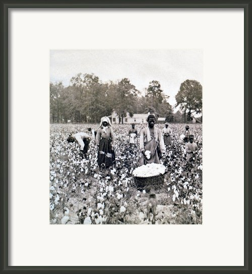 Georgia Cotton Field - C 1898 Framed Print By International  Images