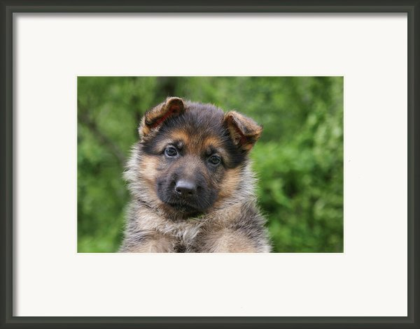German Shepherd Puppy Iii Framed Print By Sandy Keeton