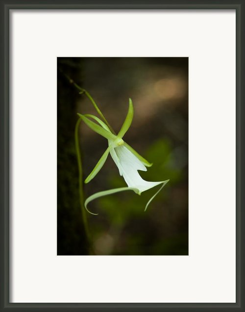 Ghost Orchid  Framed Print By Rich Leighton