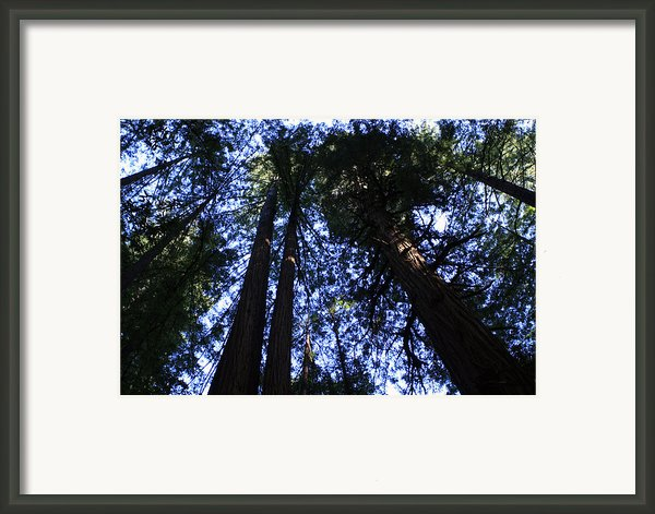 Giant Redwoods Framed Print By Aidan Moran