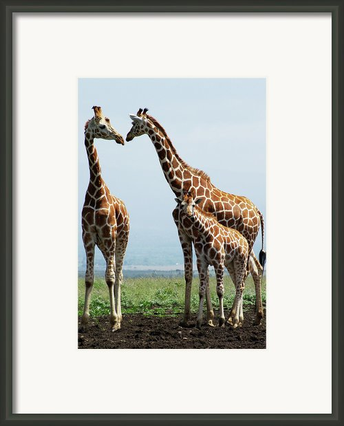 Giraffe Family Framed Print By Sallyrango