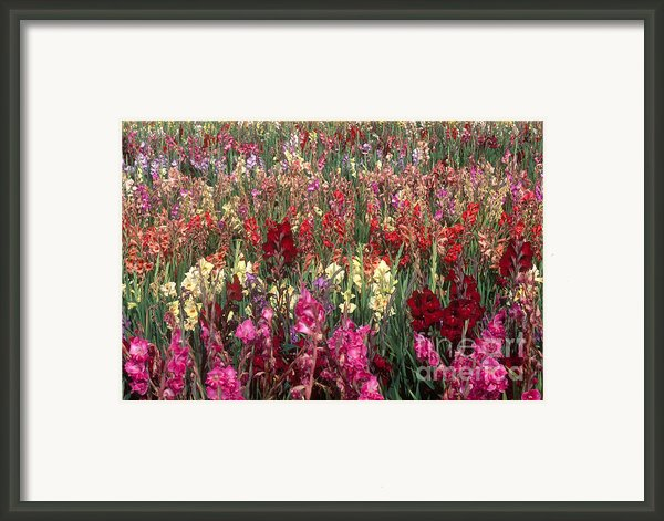 Gladioli Garden In Early Fall Framed Print By Yva Momatiuk And John Eastcott And Photo Researchers